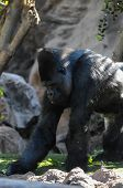 picture of gorilla  - Strong Adult Black Gorilla on the Green Floor  - JPG