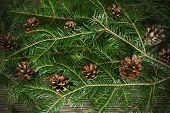 picture of conifers  - Xmas Christmas background with green branch and conifers - JPG
