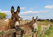 picture of donkey  - Donkeys standing by a fence in a field looking to camera with blue sky on a spring day - JPG