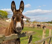picture of donkey  - Donkey standing by a fence in a field looking to camera with blue sky on a spring day - JPG