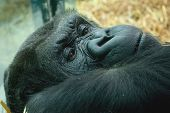 stock photo of gorilla  - photo portrait of a resting female gorilla - JPG