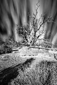 image of juniper-tree  - Clouds streaking behind a dead Juniper Tree on a sunny morning in Dead Horse Point State Park Utah  - JPG