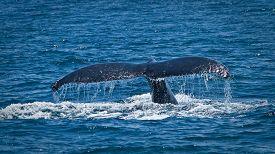 stock photo of gentle giant  - Beautiful humpback whales in the coast of Ecuador - JPG