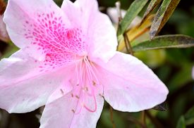 pic of azalea  - Closeup of a light pink spotted azalea bloom and leaves against a blurred floral background of azalea bushes - JPG