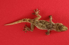 foto of hemidactylus  - Small Gray Gecko Lizard on a Colored Background - JPG