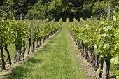 picture of dork  - Rows of grapevines in vineyard and wine estate in Dorking - JPG