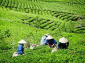 Tea Pickers Collecting Bright Green Tea Leaves On Plantation poster