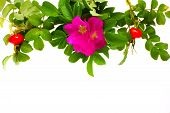 image of wild-brier  - wild roses border isolated on wnite background - JPG