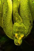 stock photo of green tree python  - Morelia viridis the green tree python is a species of python found in New Guinea islands in Indonesia and Cape York Peninsula in Australia - JPG