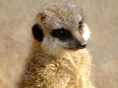 Cute Meerkat (Suricata Suricatta) poster