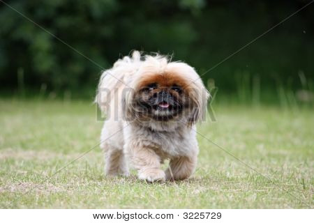 poster of Cute Little Fluffy Dog Going For A Walk