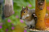 foto of sneaky  - Sneaky squirrel stealing seed at the birdfeeder in a backyard setting - JPG