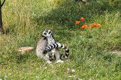 Cute Ring-tailed Lemur (lemur Catta) Sitting And Holding Its Own Tail poster
