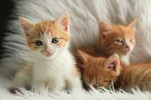 Cute Little Kittens On White Furry Blanket At Home poster