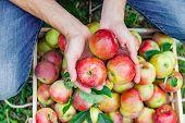 Man Gardener Picks Apples In The Garden In The Garden. Selective Focus. poster