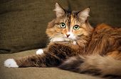 Adult Cat. Beautiful Multi-color Coat. The Cat Is Lying On The Couch. Purebred Cat. poster