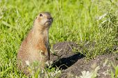 Gophers Climbed Out Of The Hole On The Lawn , Furry Cute  Gophers  Sitting On A Green Meadow In Sunn poster