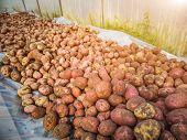 Fresh Autumn Potato Harvest. Freshly Dug Potatoes. The Concept Of Fresh Vegetables, Organic Natural  poster