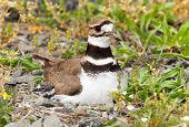 pic of killdeer  - Close up shot of Killdeer bird at nesting time sitting with chicks and eggs on nest - JPG
