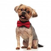 side view of cute yorkshire terrier wearing red bowtie, sticking out tongue, panting, sitting isolat poster