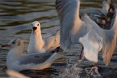 Brown Headed Seagull Opening Mouth Beak And Making Noise As Flock Of Birds Move Around Splashing Wat poster