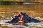 Two Young Male Hippopotamus Hippopotamus Amphibius, Rehearse Fray And Fighting With Open Mouth And S poster