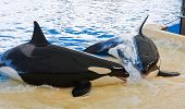 picture of orca  - Orca whale Orcinus orca Show Loro Parque Tenerife Canarian islands - JPG