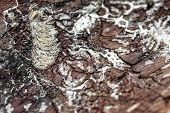 Closeup Of Traces From A Bark Beetle On Dead Wooden Bark, Insect And Trees poster