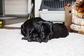 Two Black Puppies Rest On Soft Carpet. Little Dogs Are Resting. Selective Focus. poster