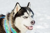 Siberian Husky Dog Close Up Outdoor Face Portrait. Sled Dogs Race Training In Cold Snow Weather. Str poster