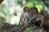 Macaque monkey family sitting together on a rock. Baby monkeys with their adults.  poster