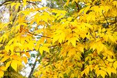 Golden Season. Yellow Tree. Autumn Is Coming. Vibrant Leaves Close Up. Autumnal Background. Branch L poster