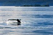 Humpback Whale Tail Fluke. A Humpback Whale Tail Fluke As It Dives. poster