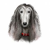 Afghan Hound Breed Digital Art Illustration Isolated On White Background. Cute Domestic Purebred Ani poster