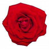 image of single white rose  - Single red rose flower isolated on white background - JPG