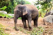 domestic elephant at Phuket, Thailand poster