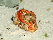 stock photo of copulation  - Couple of Beautiful Orange Hermit Crab Copulation on Natural Ocean Coast background - JPG