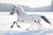 picture of appaloosa  - appaloosa pony runs free through the winter field - JPG