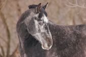 foto of dapple-grey  - Portrait of dappled horse at sunny winter day - JPG