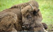 image of aurochs  - young archous in paddock of national park - JPG
