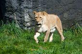 Постер, плакат: Lioness Stalking Prey