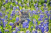 image of bluebonnets  - Tabby Cat portrait in sun-lit Bluebonnet field
