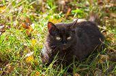 foto of catnip  - black cat laying on the autumnal grass - JPG