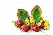 Horse-chestnuts Fruits And Leaf Isolated