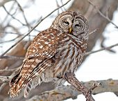 stock photo of hooters  - The Owl is illuminated by the early morning sun on a cold winters morning - JPG