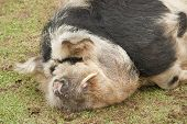 stock photo of pot-bellied  - A large hairy pig sleeping on the grass - JPG