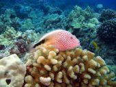 image of hawkfish  - Blackside Hawkfish sitting on top of a Coral Head  - JPG