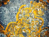 Xanthoria parietina lichen (Common Orange Lichen) growing on stone.