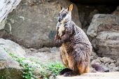 picture of wallaby  - A rock wallaby sits on a rock observing its surroundings in Victoria - JPG