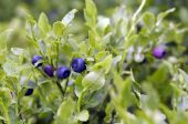stock photo of bearberry  - Close-up of the blueberry shrubs - forest product